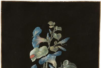 Barbara Regina Dietzsch (German 1706-1783) Blue Morning Glory, c.  1760.  Gouache, watercolor and gold border on vellum.