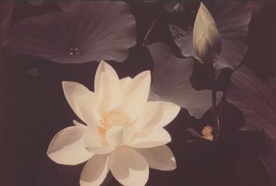 Edward Steichen, White Lotus, dye transfer print, 1939, printed 1940.  Estimate $50,000 to $70,000.