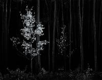 "This gelatin silver print ""Aspens, Northern New Mexico,"" 1958, by Ansel Adams (Californian, 1902-1984) solidly surpassed its high estimate selling for $35,550."