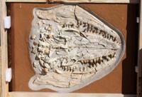 LOT 2: Massive Mosasaurus Prognathodon Fossilized Skull