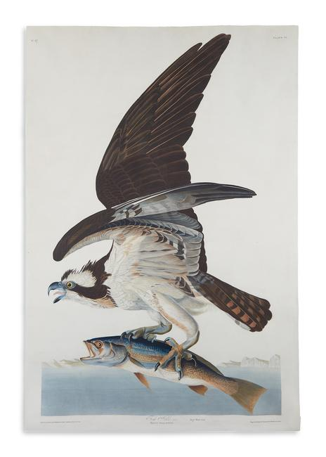 Lot 337: John James Audubon, Fish Hawk, Plate 81, hand-colored aquatint and engraved plate from Birds of America, London, 1830.  Estimate $30,000 to $50,000.