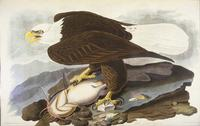 Audubon's bald eagle illustration.