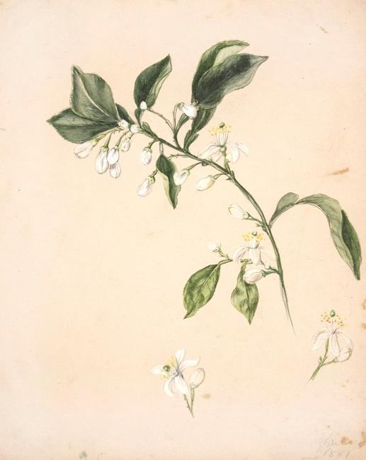 "EMILY COLE, Untitled (white flowering branch), April 1881.  Reproduction; Originally watercolor and pencil on paper H: 10 ¾"", W: 8 5/8"""