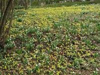 Bright yellow Aconites and white Snowdrops in bloom on Winterthur's March Bank.  Courtesy of Winterthur, photo by Ruth Joyce