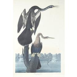 The auction will feature prints from the famous American ornithologist, naturalist and painter John J.  Audubon (1785-1851), including the Arctic Yager and Black-Bellied Darter.