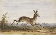 Antelope.  Alfred J.  Miller, American, 1810 - 1874.  Watercolor, ink, touches of gouache, and pencil on cream, wove paper, 6 7/8 x 10 5/8 inches (17.5 x 27 cm) Framed: 12 x 15 inches (30.5 x 38.1 cm).  Nelson-Atkins Museum of Art, Kansas City, Missouri