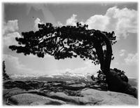 """Jeffrey Pine on Sentinel Rock"" is from an Ansel Adams negative discovered at a garage sale by Rick Norsigian."