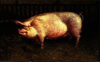 Jamie Wyeth (born 1946), Portrait of Pig, 1970, oil on canvas, 48 x 84 inches, Brandywine River Museum.  © Jamie Wyeth.