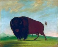 George Catlin, Buffalo Bull, Grazing on the Prairie, 1832-1833, oil on canvas, Smithsonian American Art Museum, Gift of Mrs.  Joseph Harrison, Jr.