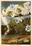 Penelope Gottlieb Montanoa hibiscifolia, 2011, Acrylic and ink over Audubon print 37 x 25 in.