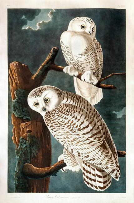 after John James Audubon (1785-1851), Snowy Owl, hand-colored engraving, 38 ¾ by 25 ⅞ inches, ($60/90,000)