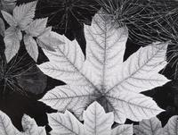 Ansel Adams (1902–1984) Leaf, Glacier Bay National Monument, Alaska, ca.  1948.  From What Majestic Word, In Memory of Russell Varian, Portfolio IV (1963) Gelatin silver print ©2010 The Ansel Adams Publishing Rights Trust.  Amon Carter Museum, Fort Worth, Texas P1966.11.3