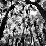 "Benjamin Dimmitt, ""Palm Hammock, Titusville, FL 2006"" selenium-toned gelatin silver print 16"" x 20"" unframed, 16"" x 20"" framed"
