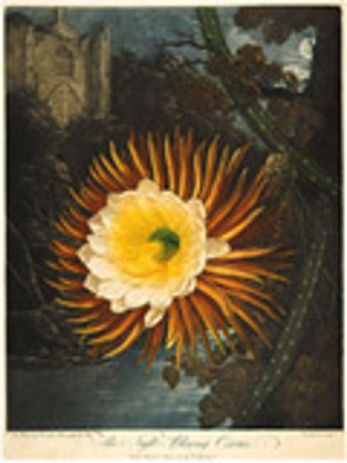 Robert John Thornton, The Night-Blowing Cereus from the illustrated book The Temple of Flora, 1807, mezzotint