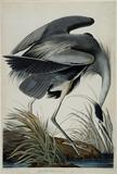 John James Audubon, Plate #211 CCXI, Great Blue Heron, Ardea Herodias, Printed by Robert Havell, London, 1834, Handcolored copper plate engraving, Collection of the John James Audubon Museum, Henderson, Kentucky.