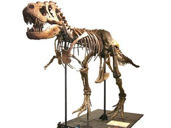 One of the largest known Tyrannosaurus rex specimens ever discovered will be offered on Saturday, October 3, 2009 during the company's first Natural History auction to be held at The Venetian® in Las Vegas.