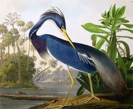John James Audubon's Louisiana Heron