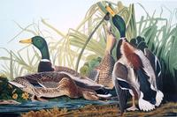 From Audubon's Birds of America.