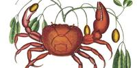 Land Crab, Mark Catesby, 1729-1747