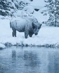 Copyright Anna Paola Pizzocaro, The White Bison in the Morning Silence