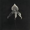 Robert Mapplethorpe.  Orchid, 1986-1987.  Image courtesy of Zeit Contemporary Art, New York
