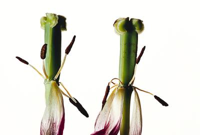 Irving Penn, Tulip.Tulipa: China Pink, New York, pigment print, 2006.  Estimate $25,000 to $35,000.