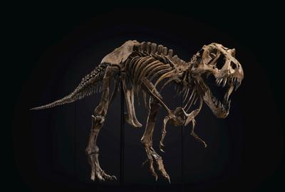 A male Tyrannosaurs rex.  From the Hell Creek Formation.  Late Cretaceous (circa 67 million years ago).  Approx.  190 bones surviving and mounted on custom frame with additional cast elements.  A separate display for the original skull and teeth.  Size: 37 x 13 x 6 ft (1128 x 396 x 183 cm).  Sold for $31,847,500 in the 20th Century Evening Sale on 6 October at Christie's in New York.
