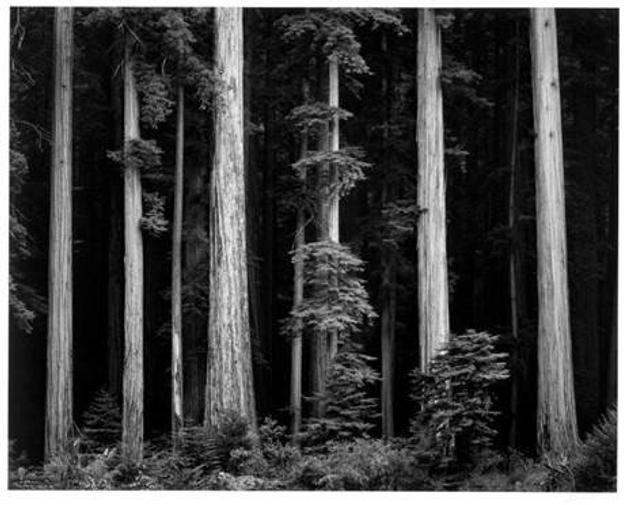 Ansel Adams (American, 1902−1984), Redwoods, Bull Creek Flat, Northern California, ca.  1960, printed 1980, Gelatin silver print, Chrysler Museum of Art, Gift of Dr.  and Mrs.  T.  Lane Stokes, 83.633.7 ©2018 The Ansel Adams Publishing Rights Trust Collection Center for Creative Photography, University of Arizona