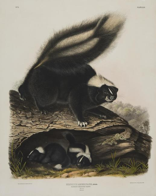 John James Audubon, Common American Skunk , from The Viviparous Quadrupeds of North America , 1845 - 1848, handcolored lithograph on paper, sheet: 28 x 22 inches, Collection of Bill Steiner