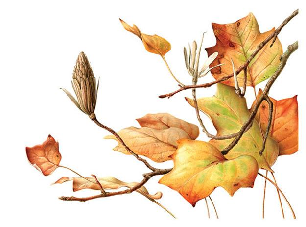 Esmée Winkel, Leiden's 300-Year-Old Tulip Tree in Autumn (2016), Liriodendron tulipifera.  Hortus Botanicus Leiden, Leiden, The Netherlands.  Watercolor on paper.  © Esmée Winkel.  Courtesy of the American Association of Botanical Artists and the New York Botanical Garden.