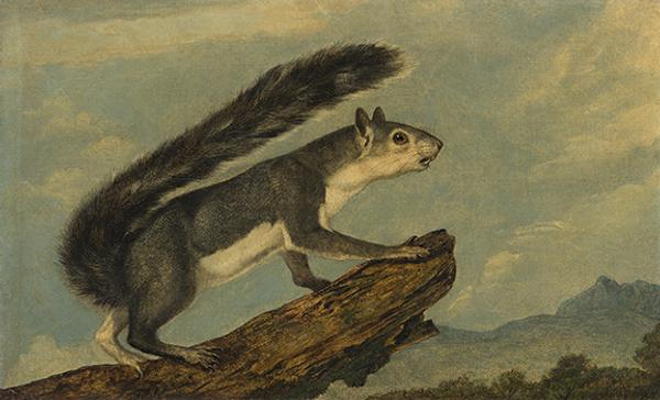 John Woodhouse Audubon, California Gray Squierrel, oil on canvas, 1853.  Estimate $30,000 to $50,000.