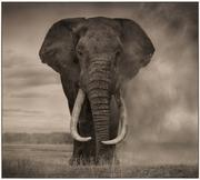 Nick Brandt, Portrait of Elephant in Dust, Amboseli, archival pigment print, 2011.  Estimate $40,000 to $60,000.