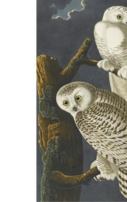 Snowy Owls from John James Audubon's Birds of America at Sotheby's Dec.  7 London auction.