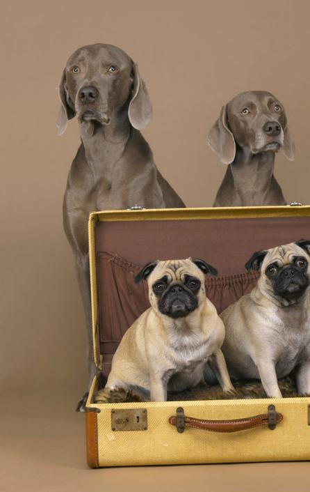 Acclaimed photographer William Wegman (MassArt '65) is offering a once in a lifetime commission at the MassArt auction - the winner will travel to New York and meet the artist and his Weimaraners in his New York City studio to have his/her portrait taken.