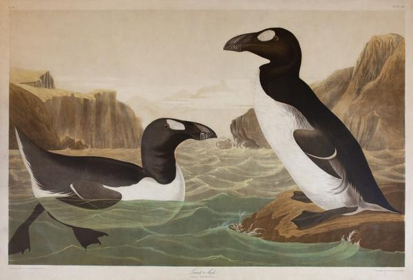 Great Auk, The Birds of America, John James Audubon, Bien edition, New York 1858-1860, lithograph.  Santa Barbara Museum of Natural History.