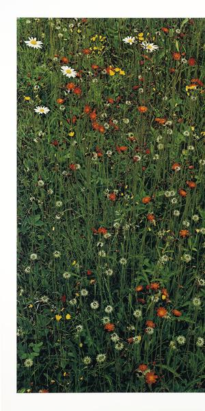 Elliot Porter, Hawkweed in Meadow, Great Spruce Head Island, Maine, 1968, 16 x 12-3/8 in., 2017.18.3