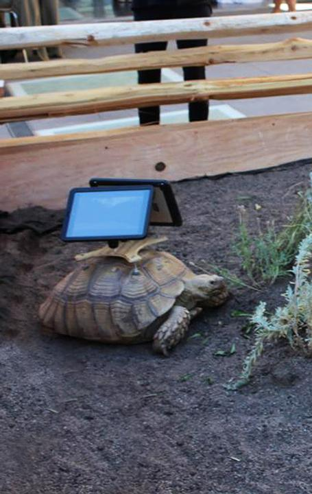 "Tortoises with iPads in the installation ""Moving Ghost Town"" by Cai Guo-Qiang at the Aspen Art Museum."