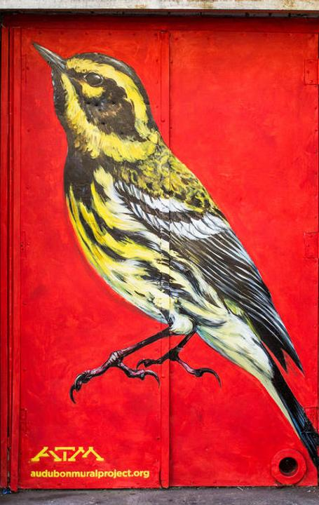 Townsend's Warbler by ATM.  Location: 601 W.  162 St.
